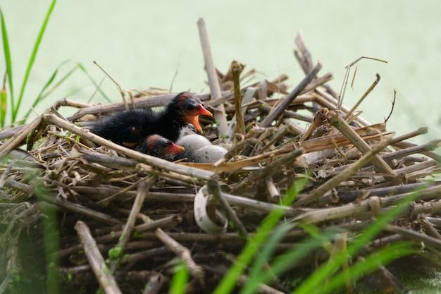 巣の中のひな鳥