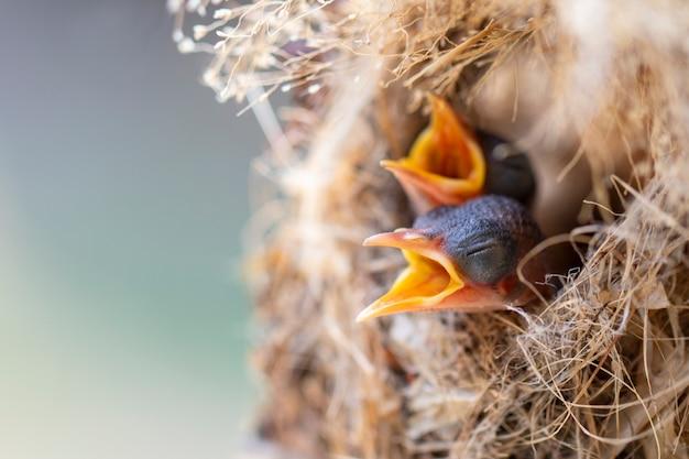 Птенцы ждут, пока мать кормит их в птичьем гнезде. птица. животные.