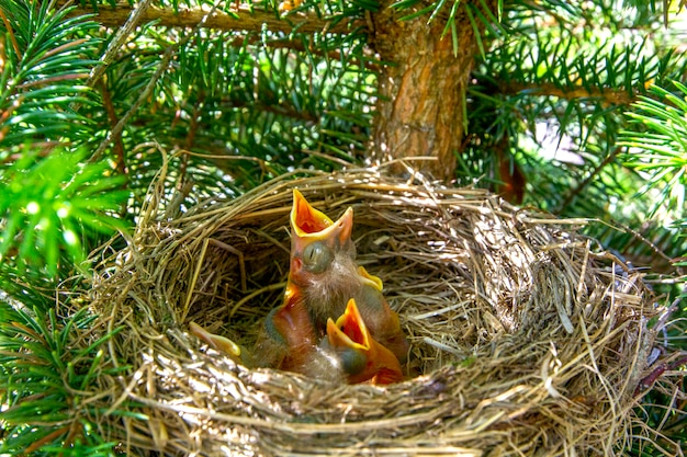 Baby birds turdus pilaris in nest with mouths open