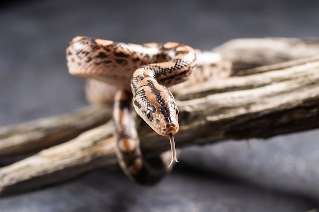 The baby boa constrictor stuck out its tongue