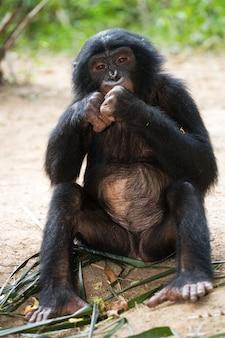赤ちゃんボノボは草の中に座っています。コンゴ民主共和国。ローラヤボノボ国立公園。