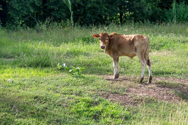 Младенец коричневый бык на ферме.