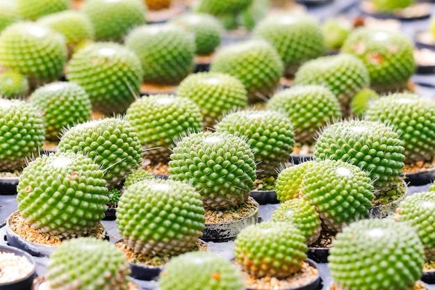 Baby cactus at seedling nursery