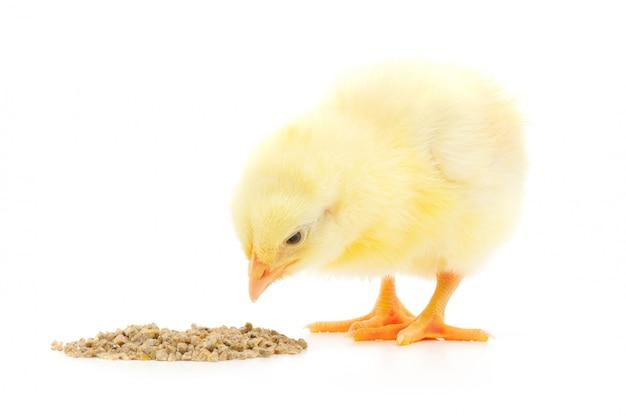 白で隔離される食事を持つ鶏の赤ちゃん