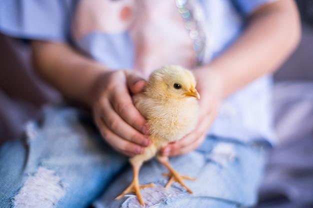 Детеныш цыпленка в руках
