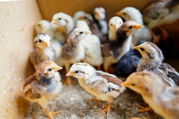 새끼 닭은 암탉에게 버려지기 때문에 골판지 상자에 모입니다.