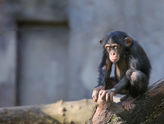 Baby chimpanzee sits with eyes closed in deep thoughts or meditation