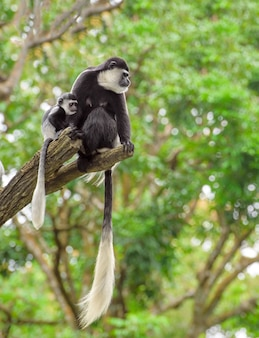 Baby colobus monkey with its mom