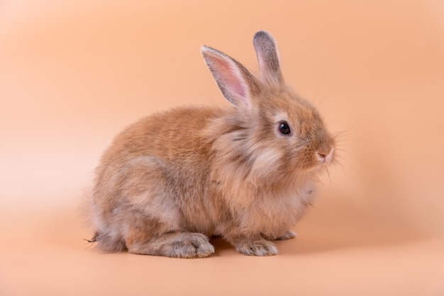 Baby cute rabbits has a pointed ears, brown fur and sparkling eyes.