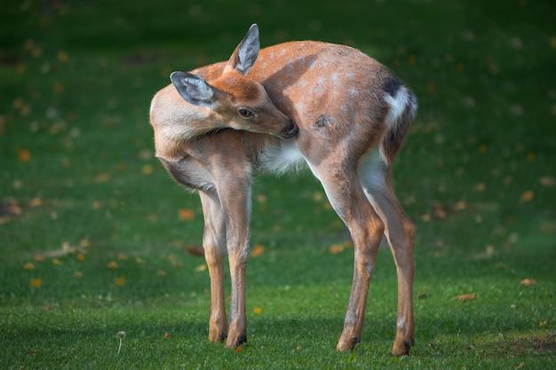 Baby deer on green grass