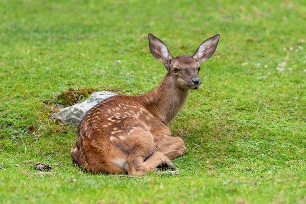 夏の牧草地の赤ちゃん鹿