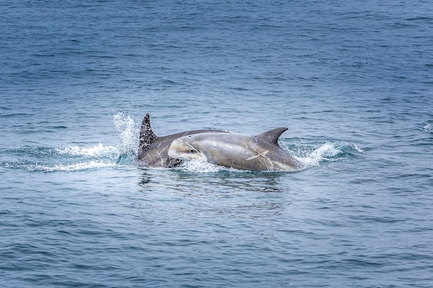 Baby dolphin with her mother in the pacific ocean