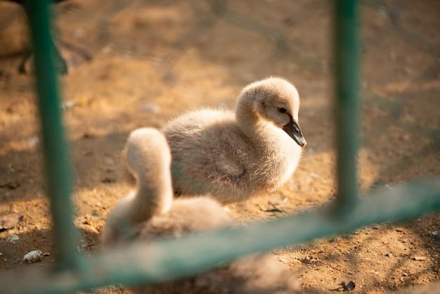 Детские утки, принимая солнечные ванны в зоопарке
