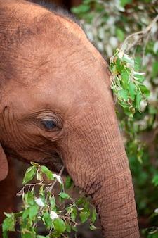ケニアアフリカのベビーゾウ