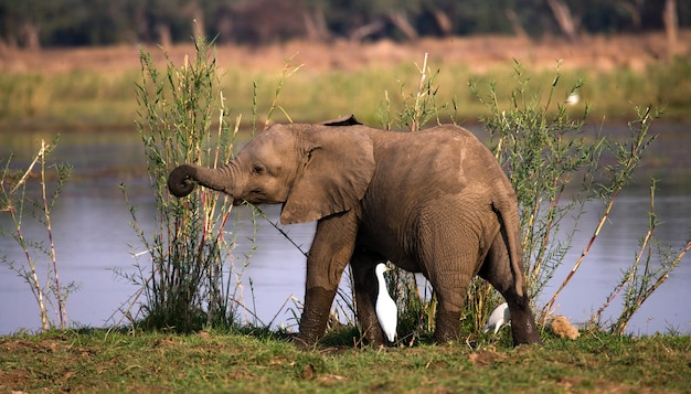 川の近くの芝生に象の赤ちゃんが立っています