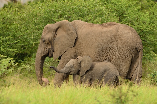 Baby elephant playing with its mother in the middle of the grassy fields in the african jungles