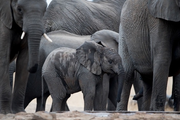 A baby elephant walking in herd