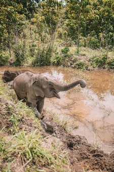 Baby elephant with the trunk raised in a brown lake