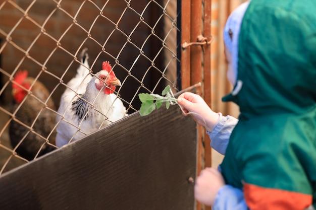 Baby feeds a leaf white chicken, chicken in focus.