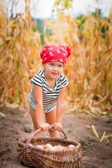 Baby girl on the garden with harvest of potatoes in the basket near field of dry corn