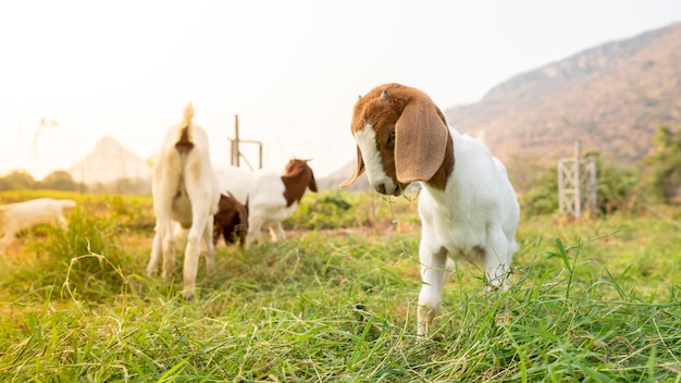 The baby goats on the farm are eating grass to grow into milk goats.