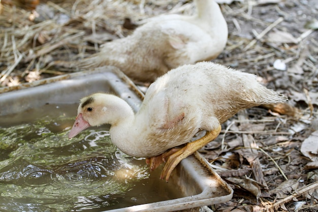 The baby goose is play water in summer at farm garden,thailand