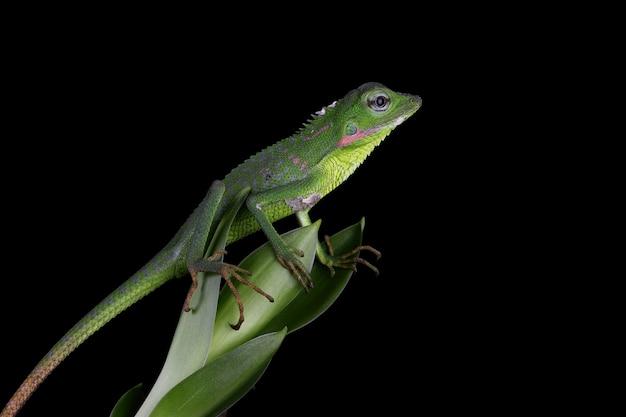 검은 표면이 있는 녹색 잎에 아기 녹색 jubata 도마뱀 위장