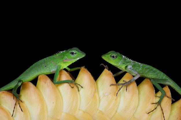 검은 벽과 녹색 잎에 아기 녹색 jubata 도마뱀 위장