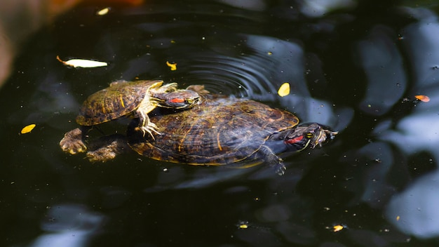 Baby and grown up redeared slider swimming in pond