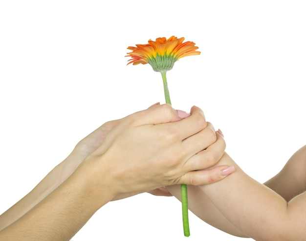 Baby hand  holding red gerber daisy isolated on white