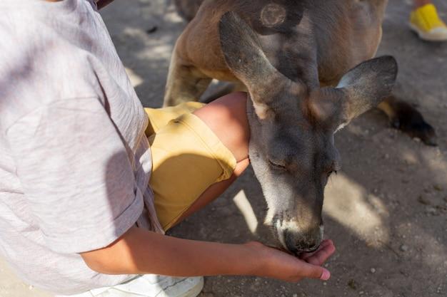 Рука младенца, кормящая австралийского кенгуру