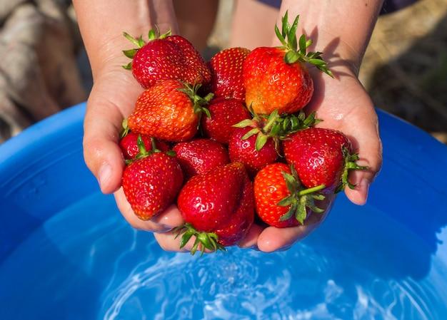 赤ちゃんの手はたくさんのイチゴを持っています。庭からの新鮮なイチゴを共有します。