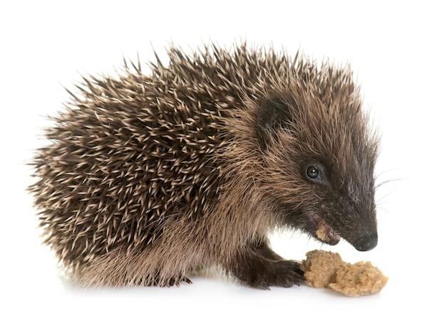 Baby hedgehog eating