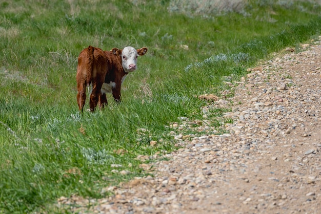 A baby hereford calf standing alone in the grass in saskatchewan, canada
