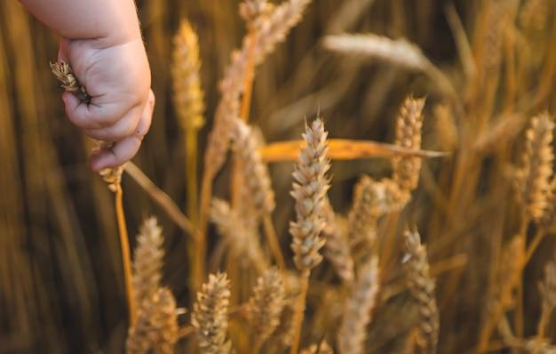 赤ちゃんは手に小麦のスパイクを持っています。セレクティブフォーカス。自然。