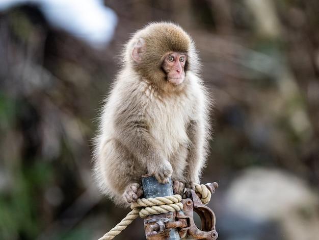 녹슨 파이프에 앉아 있는 아기 일본 원숭이