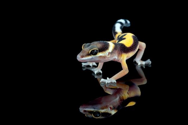 黒い表面と反射の赤ちゃんleaopardヤモリのクローズアップ