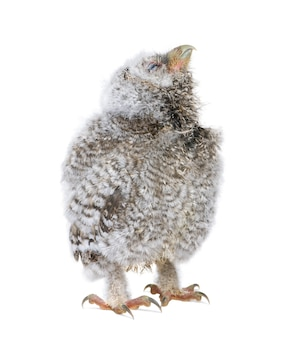 Baby little owl - athene noctua on a white isolated
