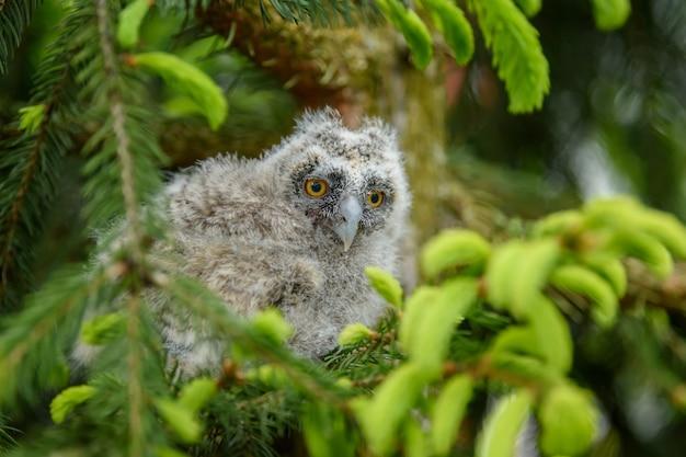 Детские ушастые совы в лесу, сидя на стволе дерева в лесной среде обитания. красивое маленькое животное в природе