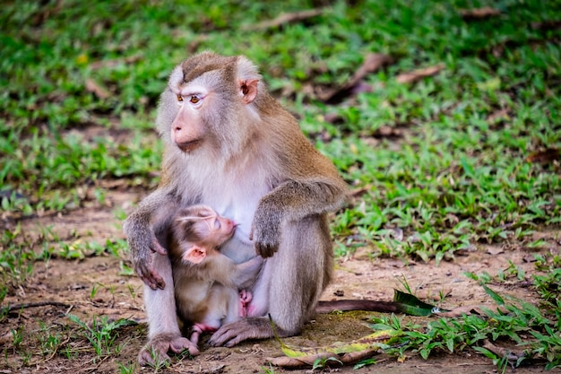 The baby monkey eating milk from the mother