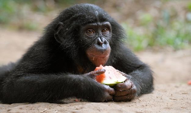 ボノボの赤ちゃんがスイカを食べています。コンゴ民主共和国。ローラヤボノボ国立公園。