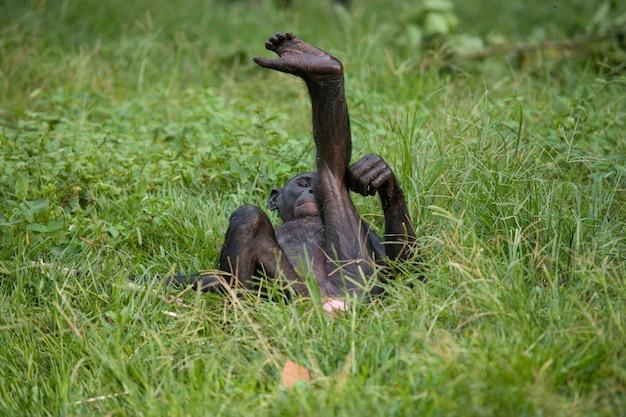 ボノボの赤ちゃんが草の上に横たわっています。コンゴ民主共和国。ローラヤボノボ国立公園。