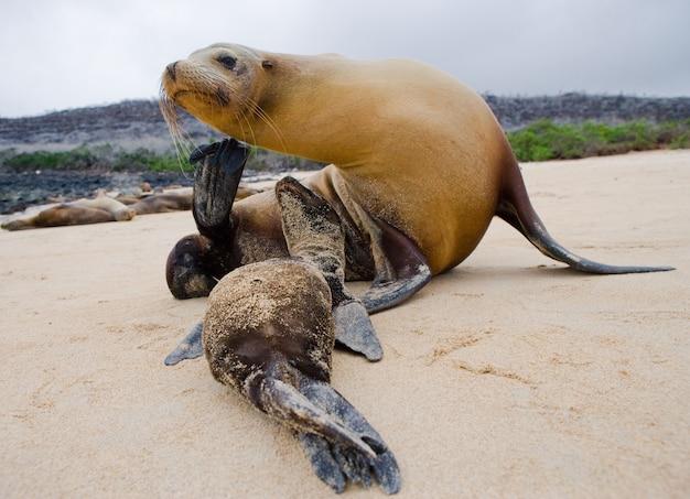 砂の上に母親と一緒に赤ちゃんアシカ
