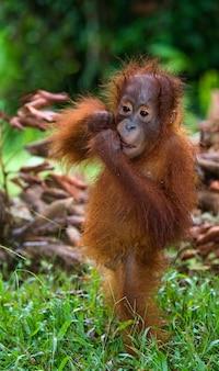 Детеныш орангутанга в дикой природе. индонезия. остров калимантан (борнео).