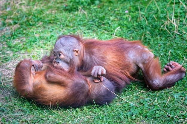 芝生で遊ぶ赤ちゃんオランウータンまたはポンゴピグメウス