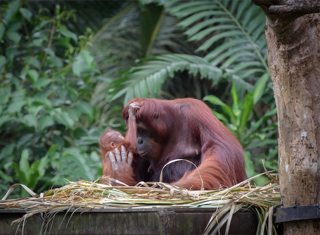 Baby orangutan plays with its mom with jungle