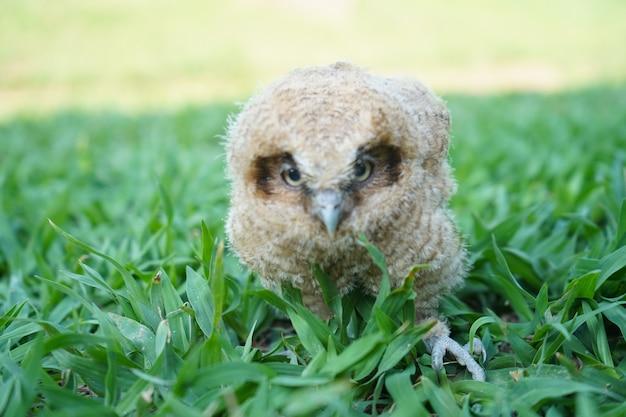 庭の芝生の上の赤ちゃんフクロウ