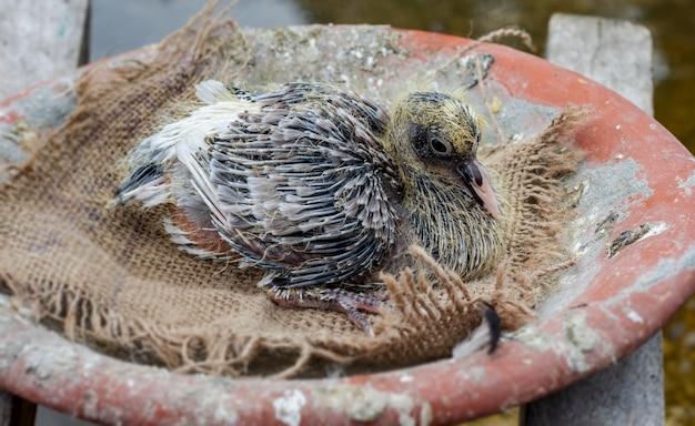 둥지에 앉아 머리카락이 자라는 아기 비둘기를 닫습니다.