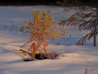 Baby pine in snow at dusk in sequoia nat