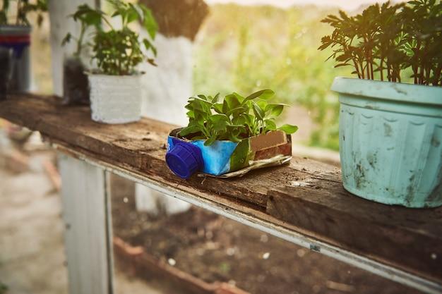 본국 온실의 테트라 팩 백에서 자른 용기에 땅에서 자란 아기 식물. 아름다운 광선이 온실에 떨어집니다.